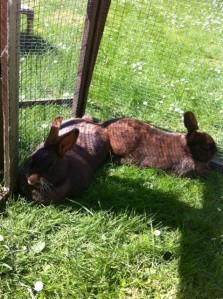 two rabbits outside