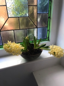 the image shows two hyacinths growing sideways because of the weight of the flowerheads