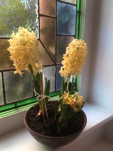 the image shows two hyacinth bulbs tied with string to keep them upright