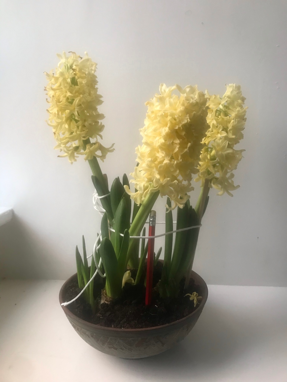 The image is of a bowl of three blooming hyacinths, supported by chopsticks, a pencil, and string.