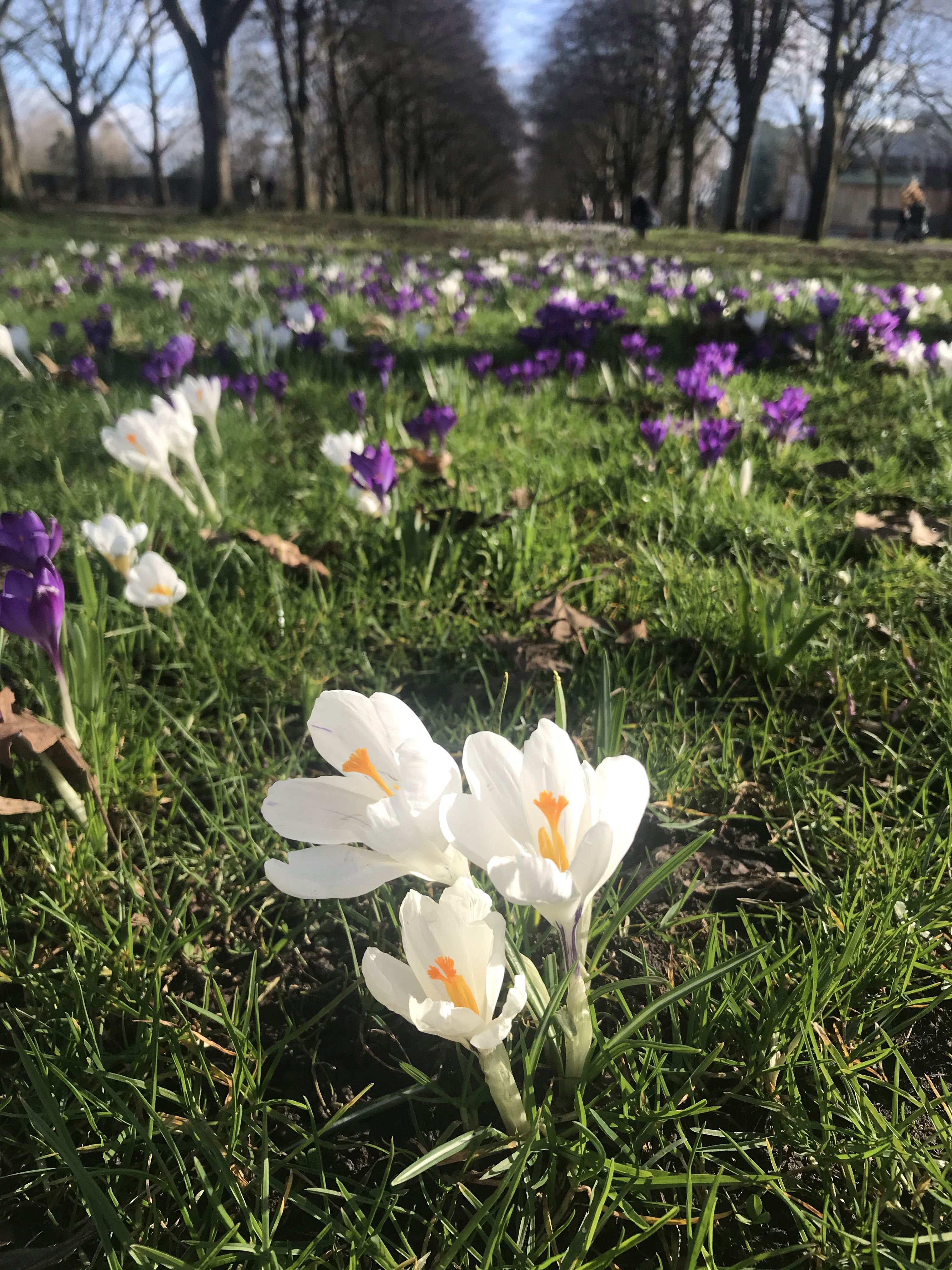 the image is of crocuses growing on grass in a park, February 2021