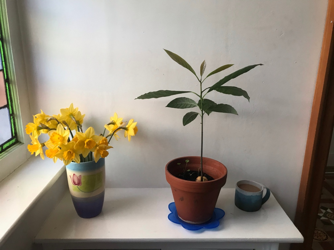 the image is of daffodils in a vase and an avocado plant and a cup of tea on a shelf