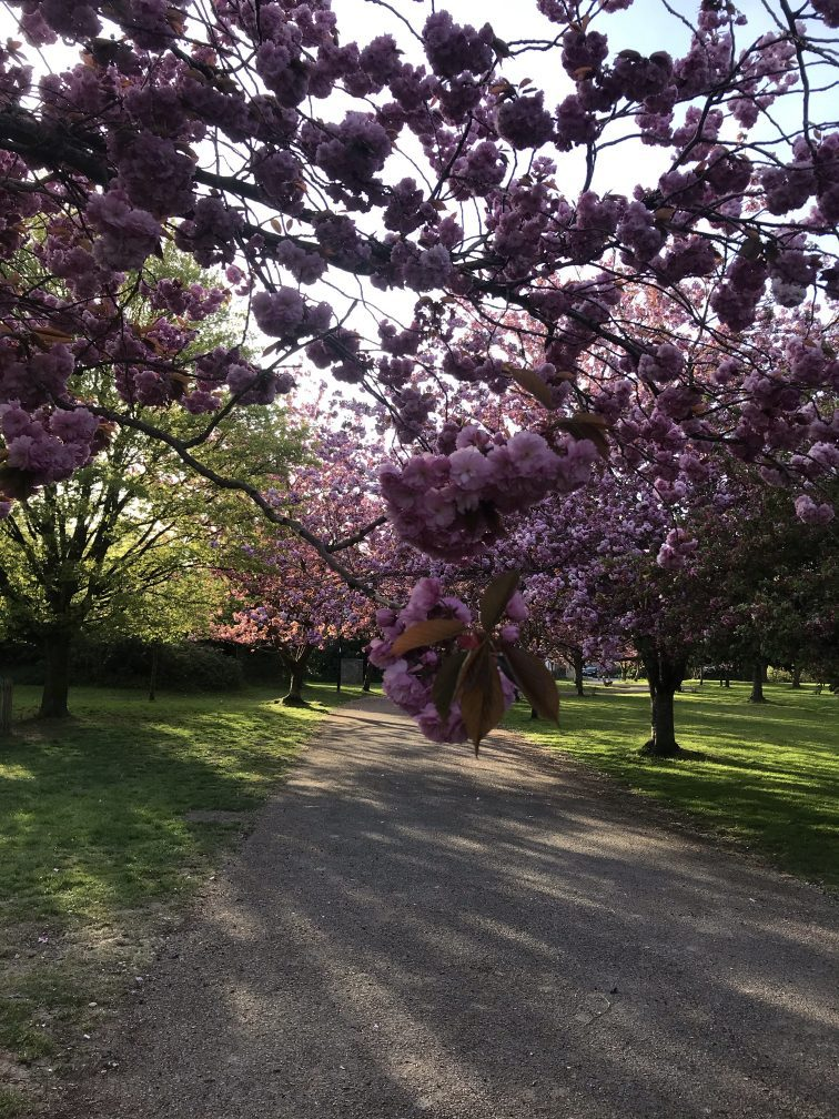 The image is of cherry trees in blossom
