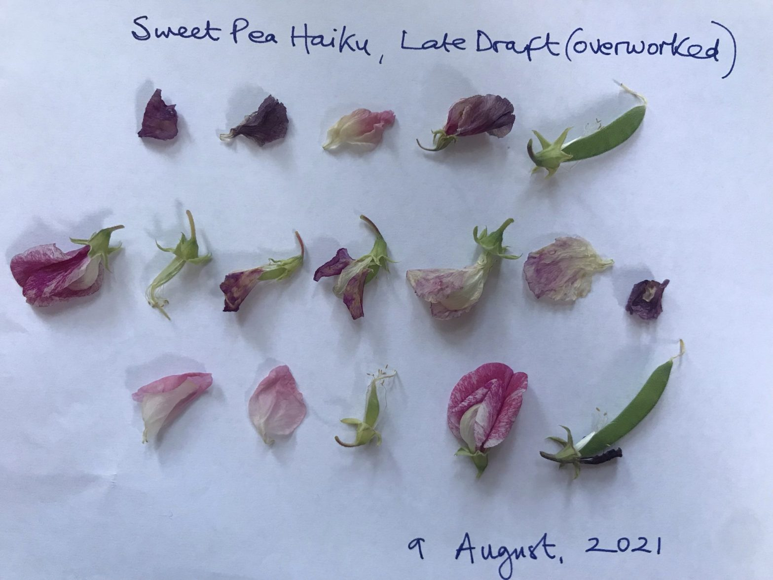 The image is of sweet pea petals arranged in three lines as a haiku, with each petal representing a syllable. There are five syllables, seven syllables, five syllables. The final syllables on the first and third lines are inedible sweet pea beans. The text reads 'Sweet Pea Haiku, Late Draft (Overworked).